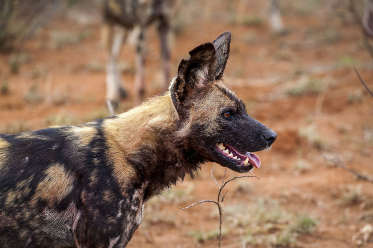 Wild dog in savannah, South Africa Animal Animal Themes Mammal Vertebrate Domestic Domestic Animals Focus On Foreground Dog Canine Field Looking Away Looking Day No People Nature Animal Wildlife Side View Outdoors Mouth Open Profile View Animal Head  Purebred Dog South Africa Wild Dog Africa