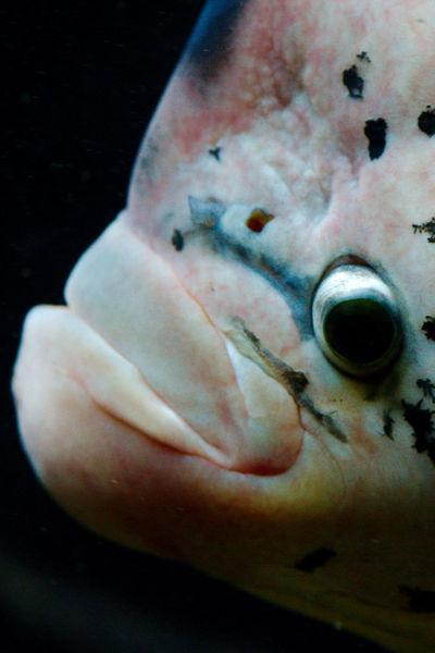 Fish Eye Black Background Close-up Eye Fish Headshot London Zoo Marine One Animal Portrait Sea Swimming UnderSea Underwater
