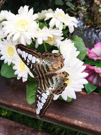 Butterfly Butterfly - Insect Flower One Animal Animal Themes Petal Animals In The Wild Insect No People Close-up Day Flower Head Freshness Nature Fragility Beauty In Nature Outdoors Pollination