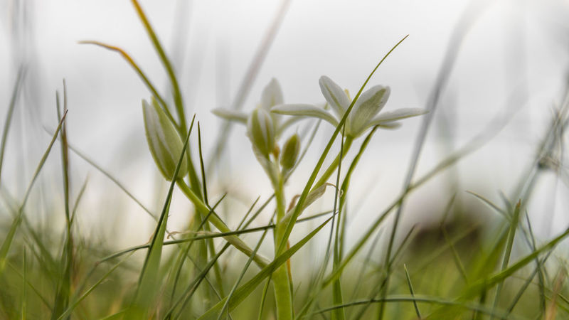 Beauty In Nature Close-up Day Field Freshness Grass Green Color Growth Nature No People Outdoors Plant Snowdrop