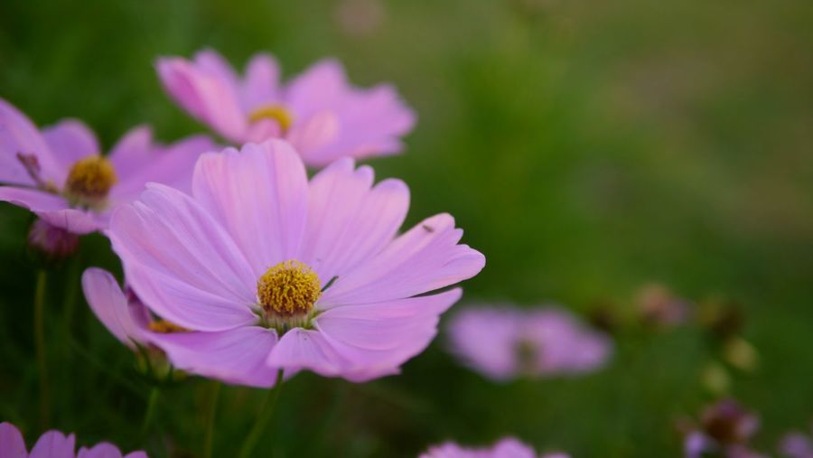 """""""Have to rest"""" Flower Head Flower Eastern Purple Coneflower Cosmos Flower Pink Color Beauty Petal Summer Pollen Close-up"""