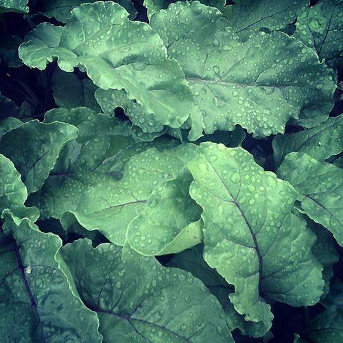 листья листва_буряка ботва зелень  роса прошел_дождик утро_после_дождя лето Grass , dew, beet Summer Morning Foliage