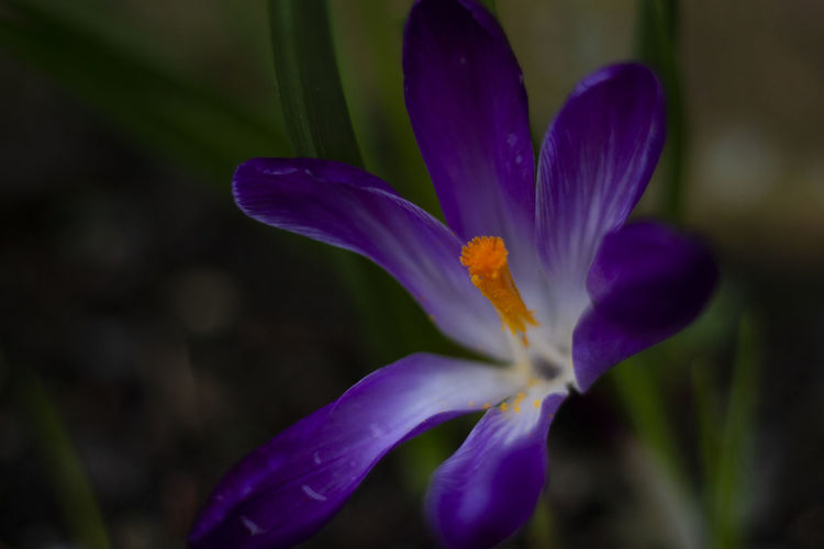 Flowering Plant Flower Purple Plant Freshness Beauty In Nature Vulnerability  Fragility Petal Close-up Inflorescence Growth Flower Head Nature Crocus Iris No People Selective Focus Botany Pollen Outdoors Springtime Scotland The Minimalist - 2019 EyeEm Awards