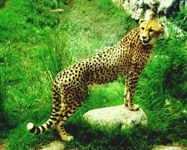 Para la foto... Animals Cheetah Yellow Nature Nature_collection Beautiful Animals  Animal Photography AnimaLs <3