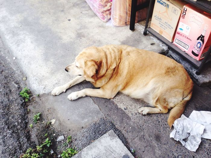 Happy fat dog Happy Eaty Fatty Dog Yellow Dog  Thai Street Dog Tha Na Market Morning Dog Thailand