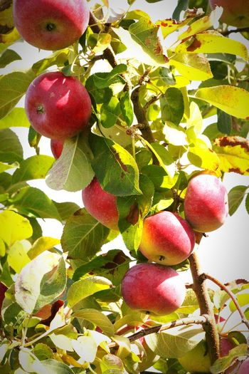 Apple picking Mountain Orchards Fruit Leaf Growth Food Freshness Hanging Nature Day Tree Appletree Apple Picking