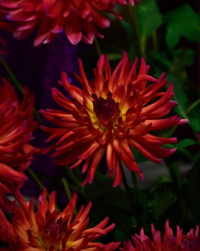 Dahlia Dahlia Flowers Dahlia Flower Background Backgrounds Flowering Plant Flower Beauty In Nature Fragility Vulnerability  Close-up Petal Growth Plant Flower Head Freshness Inflorescence Red Focus On Foreground No People Nature Day Outdoors Pollen