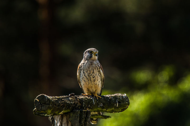 Kestrel Beauty In Nature Bird Of Prey Close-up Hawk Nature Wildlife