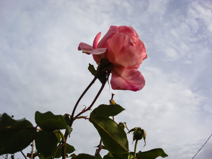 Low angle view of pink rose against sky