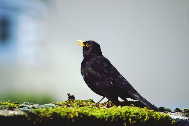 Animals In The Wild Animal Wildlife Bird One Animal Animal Themes Black Color Songbird  Nature Beauty In Nature Jardin Garden Printemps Merle Noir Oiseau