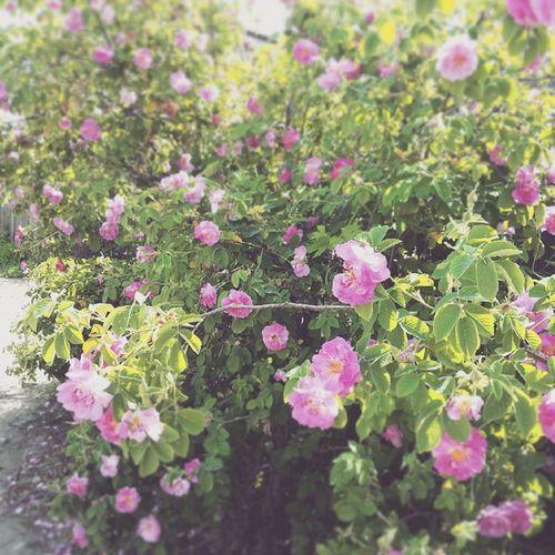 Roses 🌹 Flowers Plants Spring Nature цветение цветы розы весна Природа 꽃 봄 자연 장미