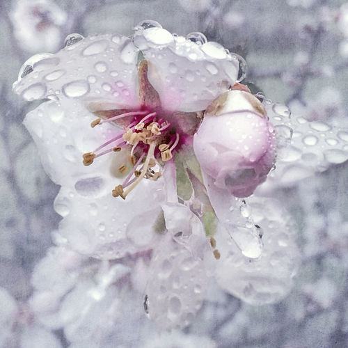 Frozen. Ice Beauty In Nature Close-up Day Drop Flower Flower Head Fragility Freshness Growth Nature No People Outdoors Petal Plant Purity RainDrop Water Wet EyeEm Ready