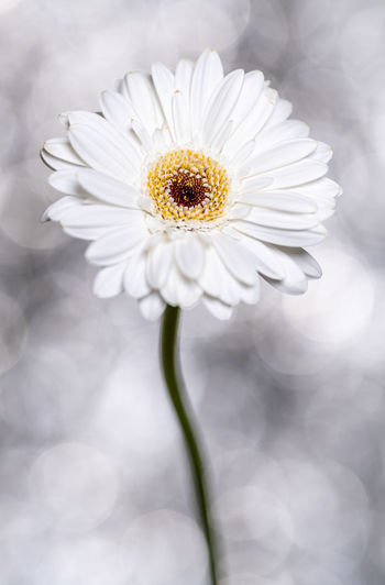 Gerbera daisy Gerbera Daisy Gerbera Gerbera Flower Flower Flower Head Plant Garden Copy Space Flowering Plant Fragility Vulnerability  Freshness Petal Beauty In Nature Close-up Inflorescence Growth Pollen Nature Focus On Foreground No People Backgrounds Bokeh