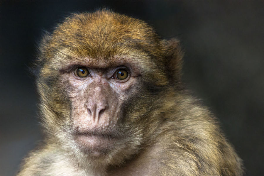 Animal Body Part Animal Head  Animal Themes Animal Wildlife Animals In The Wild Ape Azrou Barbary Ape Barbary Macaques Cedar Cedarforest Close-up Eye Looking At Camera Macaque Mammal Monkey Morocco Nature One Animal Outdoors Portrait Primate Savetheplanet Wisdom