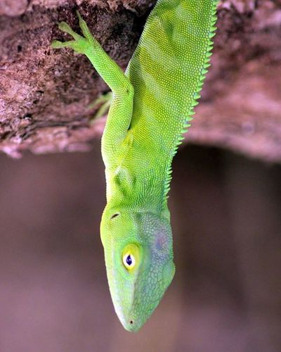 What's up? This is the Jamaican Anole lizard and is endemic to the island. Endemic Jamaklife