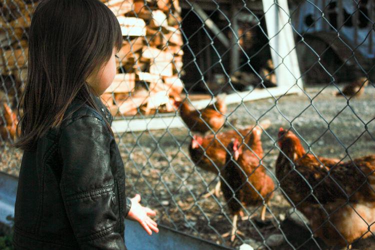 Girl looking at chicken birds