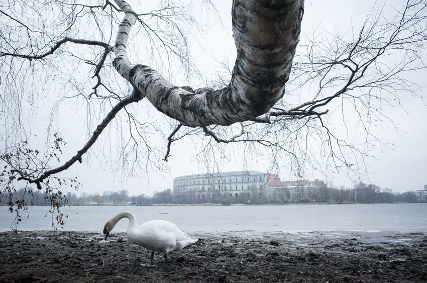 Winter Days City Animal Themes Animal Wildlife Animals In The Wild Bare Tree Bird Branch Day Mammal Nature No People One Animal Outdoors Sky Swan Tree Tree Trunk Urban Water Winter