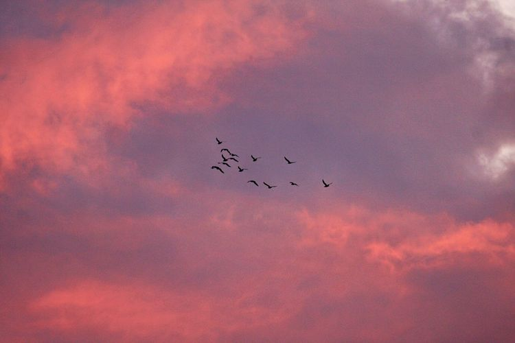 Cloud - Sky Sky Sunset Animal Wildlife Animal Themes Animals In The Wild Animal Bird Silhouette Low Angle View Group Of Animals Large Group Of Animals Nature Orange Color Flock Of Birds No People Beauty In Nature Tranquility Purple Plane Flying