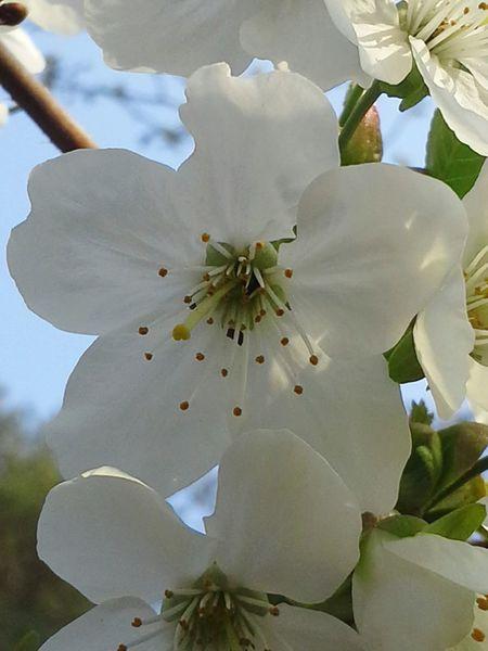 Kirschblüte Zwanzig15 Imker Bienen  Spring