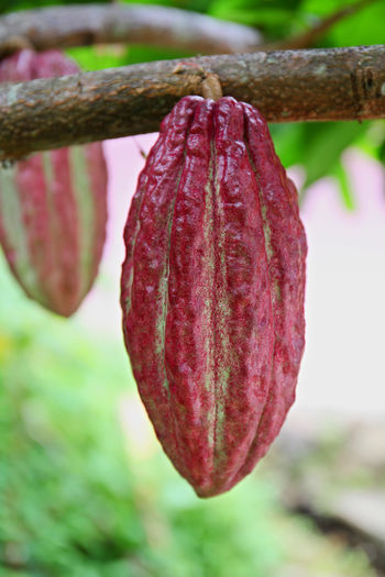 Cocoa Fruit Agriculture Beauty In Nature Choccolate Close-up Cocoa Cocoa Fruits Day Focus On Foreground Freshness Fruit Growth Nature No People Outdoors Plant Ripe Vertical