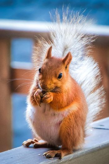 Animal Themes Animal Rodent One Animal Animal Wildlife Mammal Close-up No People Animals In The Wild Vertebrate Focus On Foreground Squirrel Nature Day Whisker