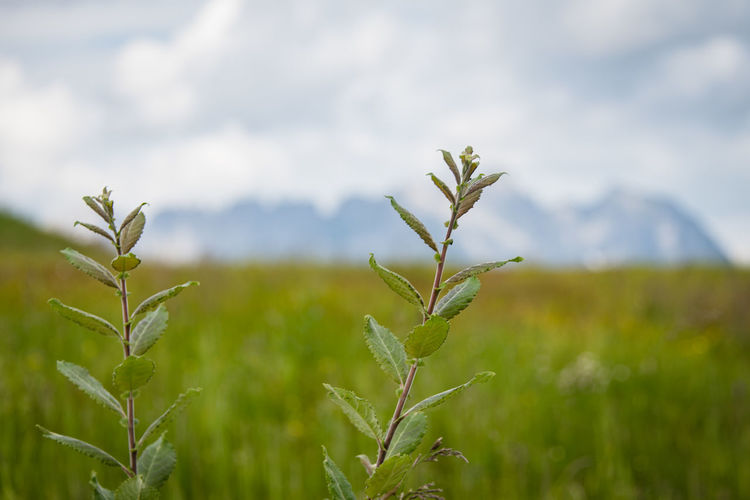Wilder Kaiser Plant Growth Beauty In Nature Green Color Nature Field Focus On Foreground Land Tranquility Day No People Landscape Close-up Environment Sky Rural Scene Agriculture Cloud - Sky Plant Part Crop  Outdoors Plantation