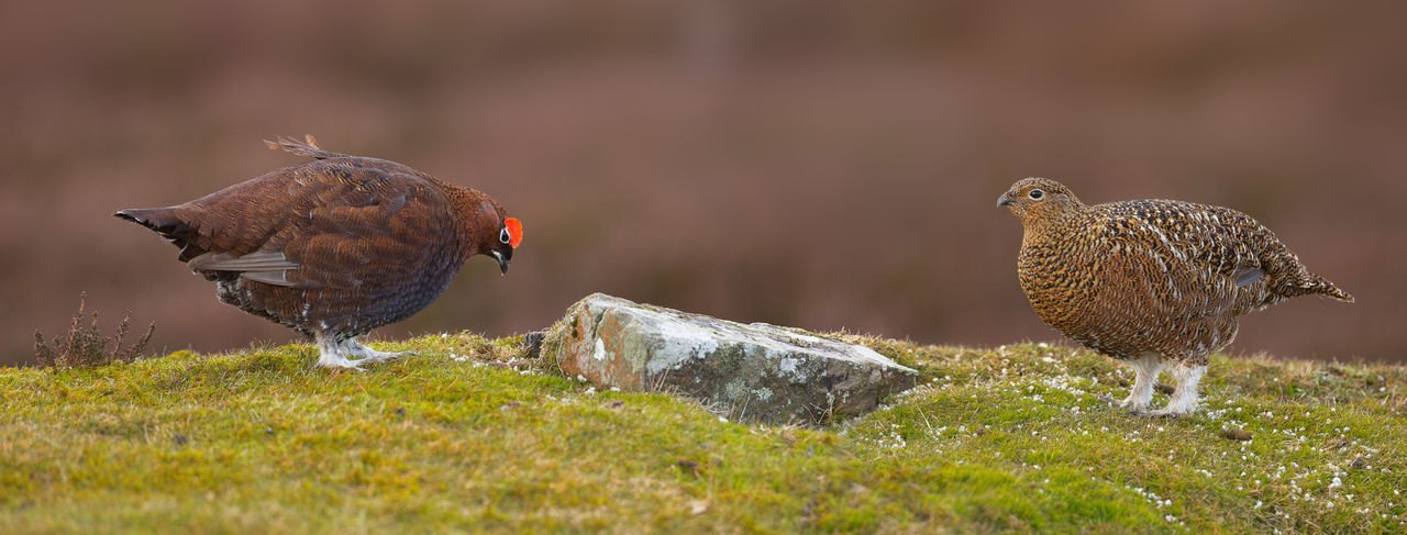 Red Grouse pair courtship dance panorama Lagopus Lagopus Scotica Animal Themes Animal Wildlife Beauty In Nature Courtship Grouse Moor Outdoors Pair Panoramashot Red Grouse Wildlife