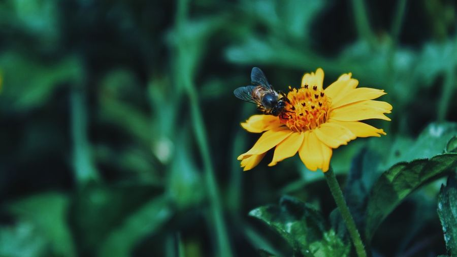 Flower Yellow Insect One Animal Animals In The Wild Nature Beauty In Nature Plant Animal Themes Fragility Close-up Butterfly - Insect Petal No People Animal Wildlife Flower Head Growth Freshness Outdoors Pollination Honey Bee EyeEmNewHere Beauty In Nature Greenary Sunflower 🌻 Paint The Town Yellow