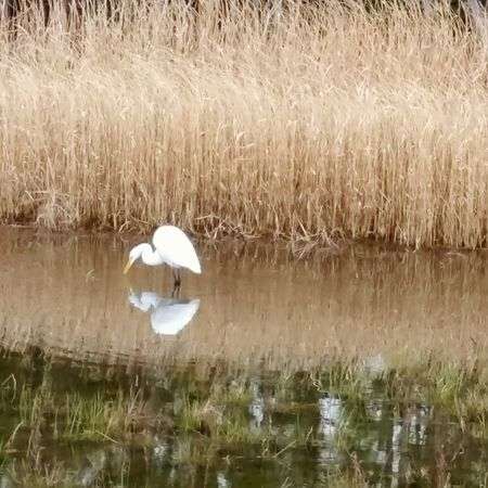 Egret Bird Photography Birds Of EyeEm  Beauty In Ordinary Things Outdoors Beauty In Nature Sawgrass Pond Life Pond Reflections Water Reflections