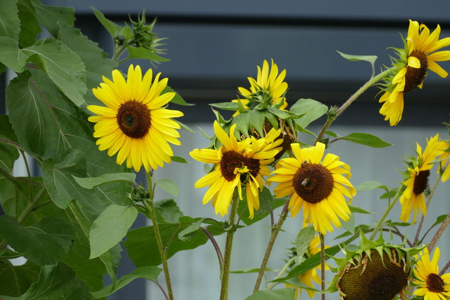Growth Nature Plant Yellow Flower Backgrounds Beauty Beauty In Nature Blooming Blooming Flower Blossom Close-up Day Flower Flower Head Fragility Freshness Green Flowers  Growth Head Flowers Nature No People Outdoors Petal Plant Sunfower