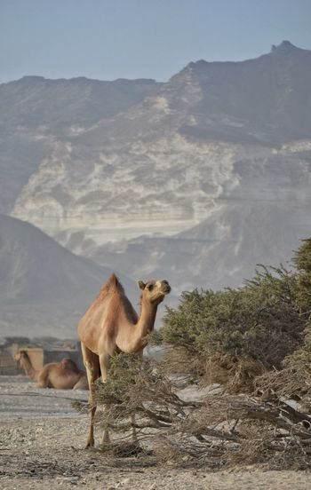 Desert Animals In The Wild Outdoors Nature Animal Wildlife Day Animal No People Beauty In Nature Mountain Animal Themes Oman Salalah Camels