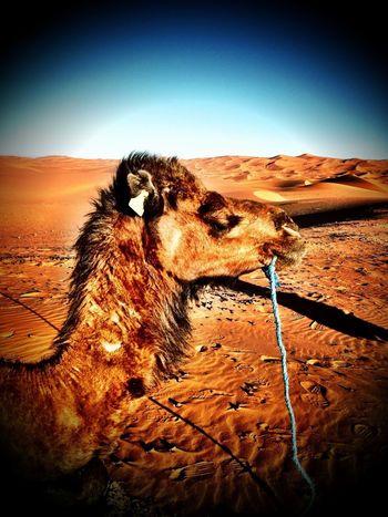 Dromedar Morocco Camel Travel Photography Amazing View