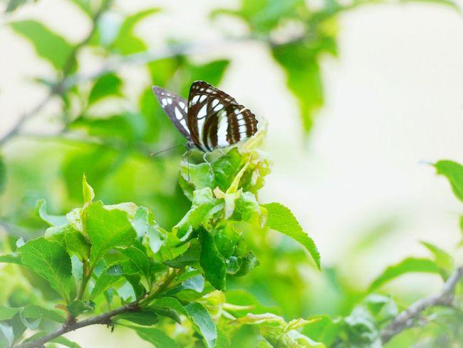 何処へ行くかは君しだい… コミスジ蝶 蝶々 Butterfly Collection Butterfly - Insect Insect Collection Green Nature EyeEm Nature Lover 日だまり EyeEm Best Shots EyeEm Gallery Eyemphotography Beauty In Nature My Point Of View Taking Photos EyeEm Best Shots - Nature