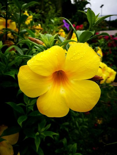 Flower Yellow Beauty In Nature Patong Beach Beauty In Nature Nature