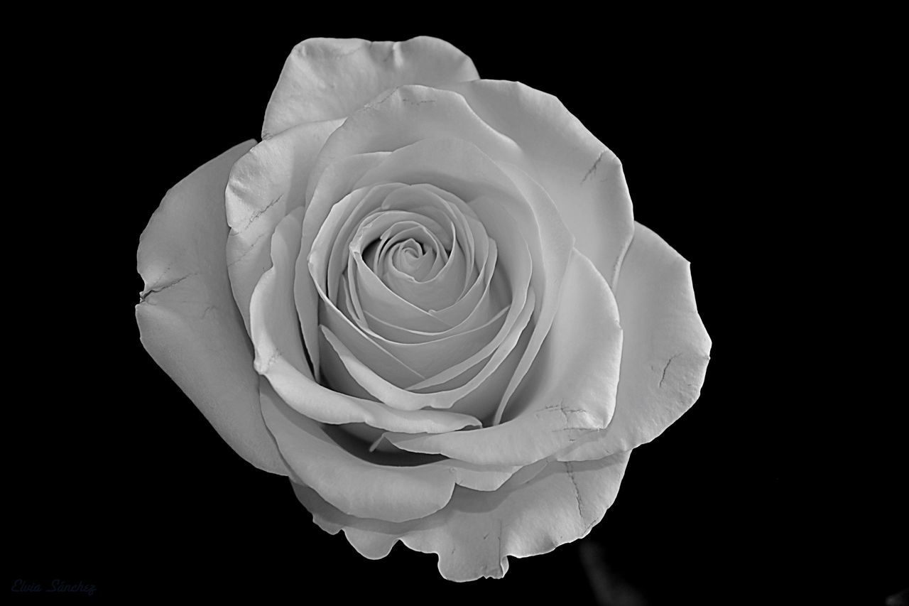 flower, rose - flower, petal, flower head, nature, beauty in nature, fragility, black background, freshness, studio shot, growth, plant, close-up, rose petals, blooming, no people, day