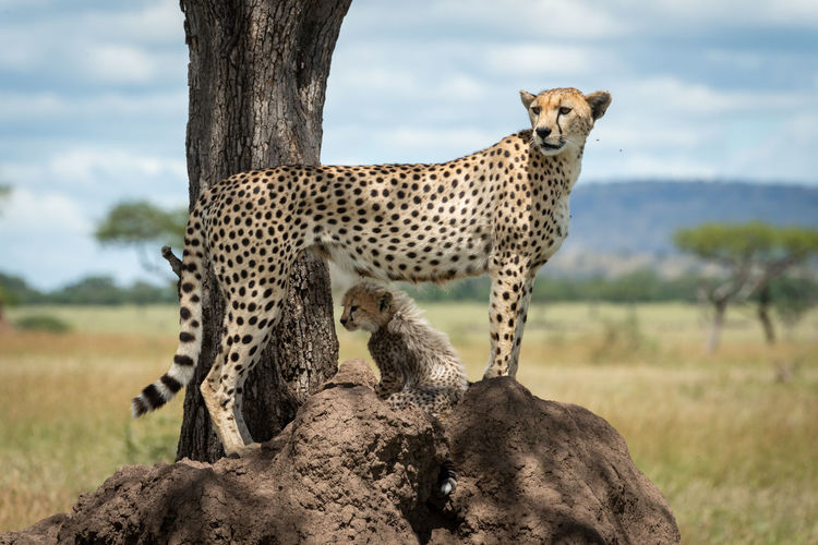 Cheetah with cub on rock formation