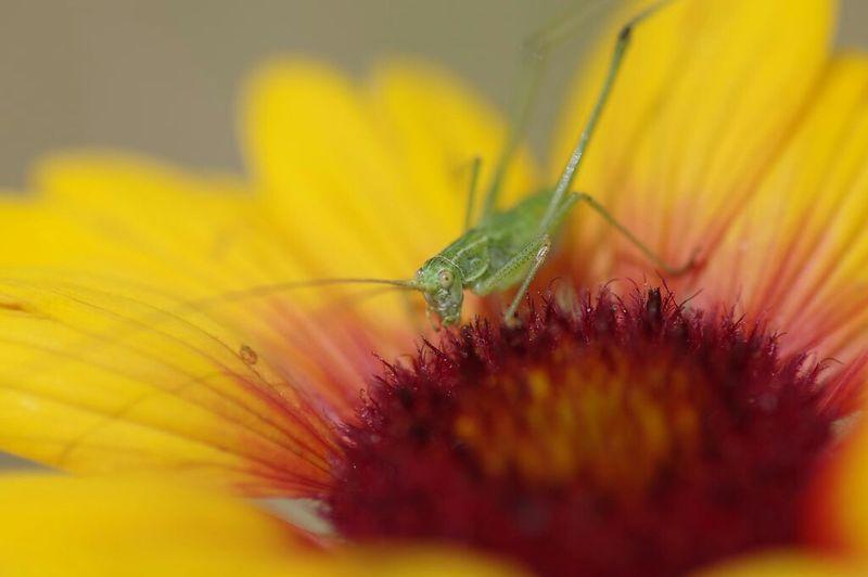 Locust Glasshopper Insect Macro Macro Photography Macro Nature Nature