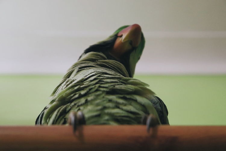 Low section of a parrot on a wooden stick