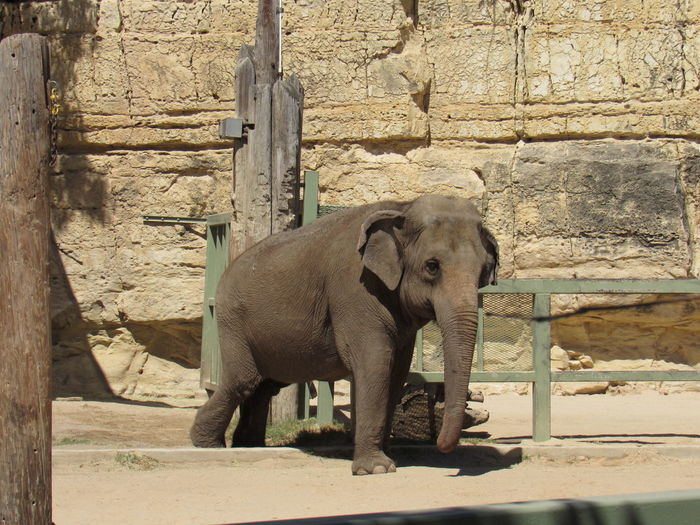 Elephant Animal Themes Animal Trunk Animal Wildlife Animals In The Wild Architecture Built Structure Day Domestic Animals Elephant Elephant Calf Mammal No People One Animal Outdoors Standing Young Animal Zoo