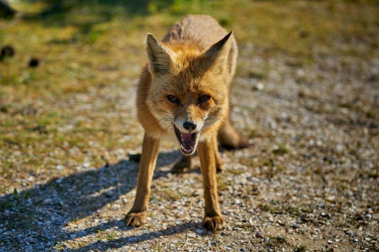 Fox on foraging