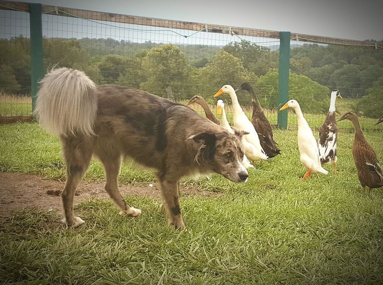 Protecting Where We Play Protecting What We Love Ducks ❤ Dog❤ Ducks😄 My Flock Samsung Galaxy S6 Edge Cellphone Photography Animal Photography Eyeem Animal Lover Animal Portrait Indian Runners Pets Of Eyeem Dogs Of EyeEm Guard Duty Protect And Serve  Guard Dog Friends ❤