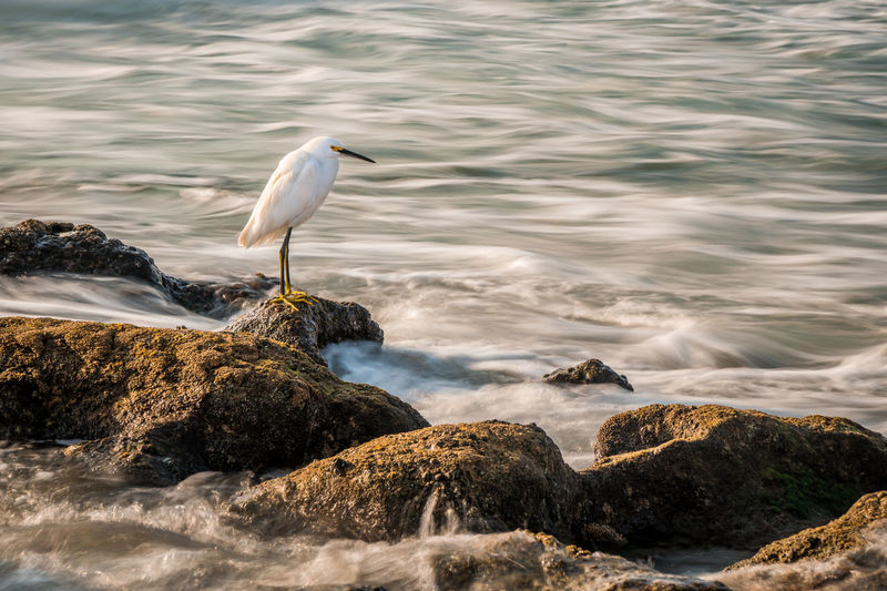 Snowy Egret watches for food in the rushing surf. Rushing Water Surf Animal Themes Animal Wildlife Animals In The Wild Beauty In Nature Bird Day Egret With Ocean Background Great Egret Hunting Nature No People One Animal Outdoors Perching Rock - Object Rocks Sea Snowy Egret Water