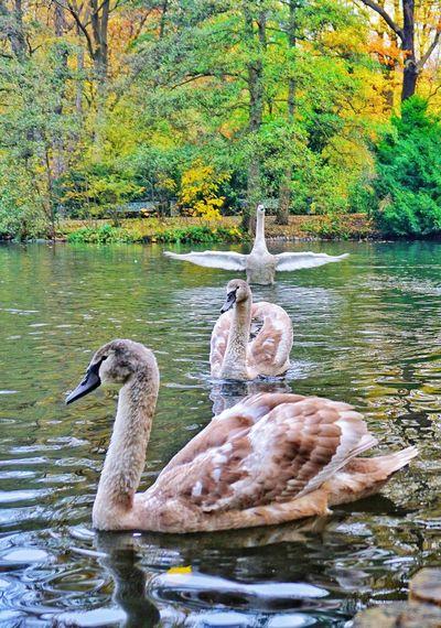 swans Backlight