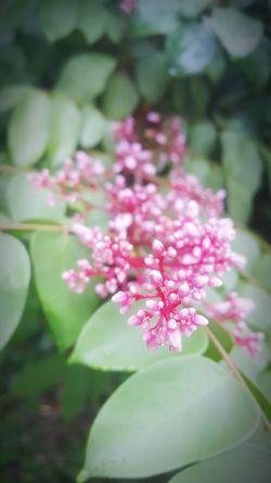 Star Fruit Blossom Star Fruit Tree 🌸Nature🌸