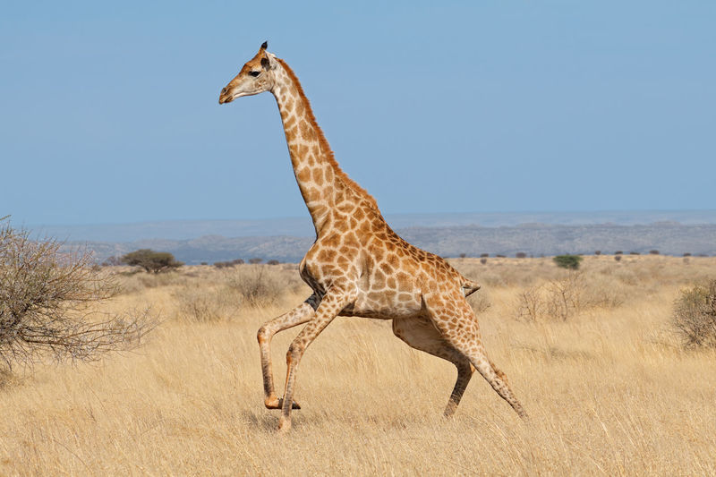 Giraffe on landscape against clear sky