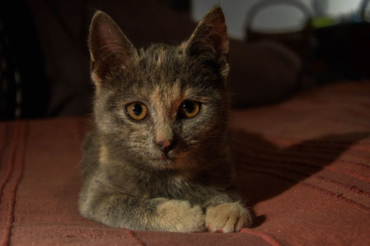 Cat Close-up Domestic Animals Domestic Cat Eyes Indoors  Kitten Look Looking At Camera