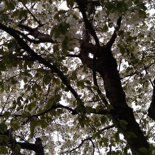Natur Nature Wald Baum Garten Bäume Ast äste Kirschbaum Blüten Frühling Nofilter Nofilterneeded Ohnefilter Keinfilter
