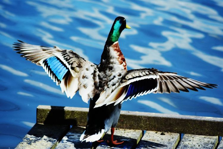 Bird Animal Wing Spread Wings Animal Wildlife Animals In The Wild No People Flying Multi Colored Close-up Outdoors Day Nature Water EyeEm Nature Lover