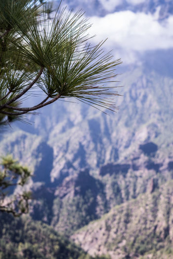 Close-up of pine tree against sky