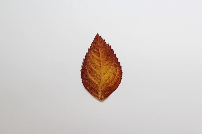 Autumn leaf Autumn Autumn Colors Autumn Leaf Autumn Leaves Autumn Photography Leaf Leafs Photography No People One Object Special Studio Studio Photography Studio Shot StudioSession White Background White Color White Wall Yellow Yellow Leaf Yellow Leaves
